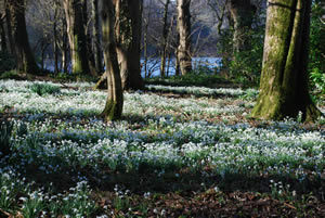 SNOWDROP FESTIVAL NEAR DUNDREAM (2/4)