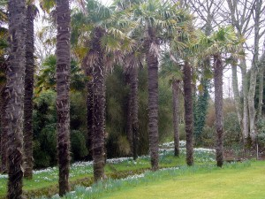 """Snowdrops in Port Logan Botanical gardens"""
