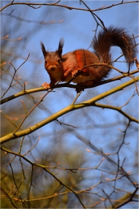 """Red Squirrels in Dumfries and Galloway"""