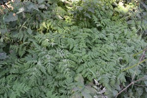 """Sweet cicely tastes of mild aniseed"""