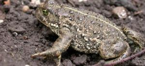 """Natterjack Toad"""